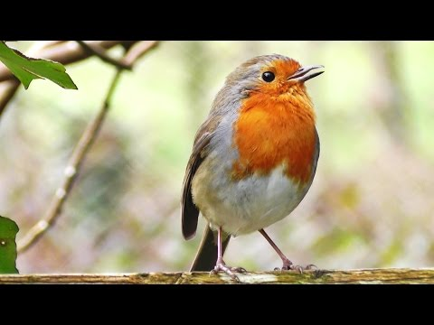 bird - Robin Birds Singing and Chirping in The Morning - Video, Bird Song & Relaxation Sounds http://www.wildlifeincornwall.com/ Video Produced by Paul Dinning - Wi...