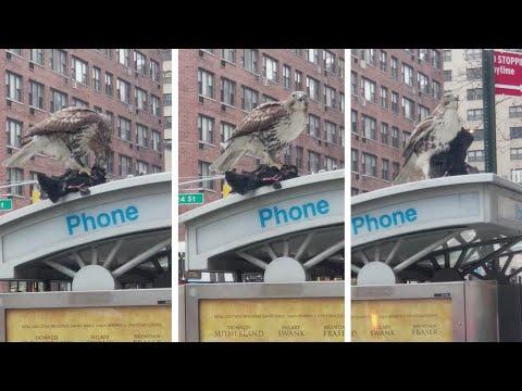 العرب اليوم - شاهد| صقر يلتهم حمامة حية في شارع مزدحم في مانهاتن