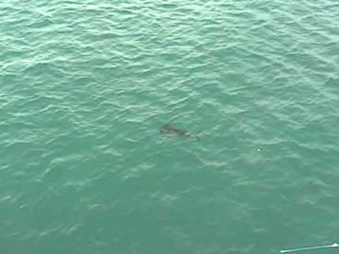 Panama City Pier, FL – Sailfish!