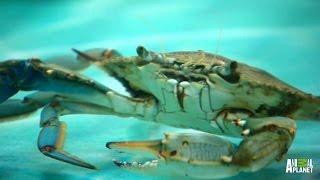 A Rare All-Crab Tank | Tanked