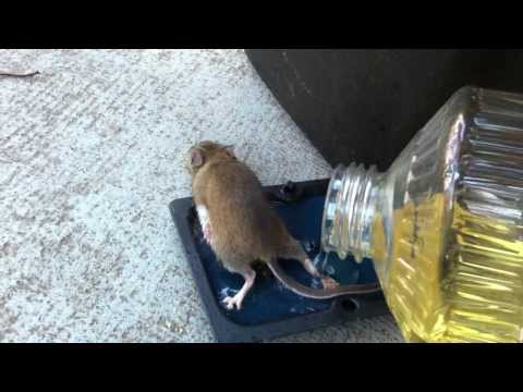 男子心軟地幫被困住的小老鼠放點油解救,沒想到小老鼠一自由後他卻後悔到直飆髒話!