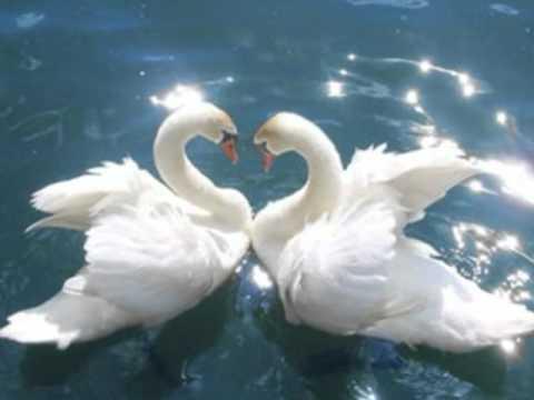 Смотреть онлайн видео лебедь белая