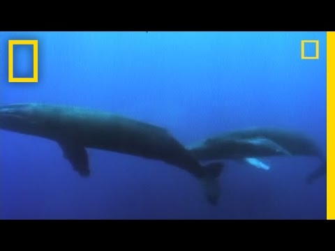 Watch: Amazing Facts About Humpback Whales [Video]