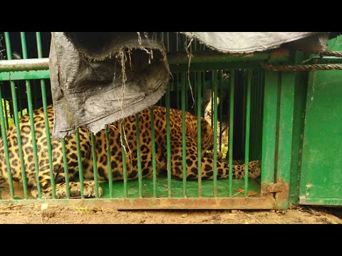 Hyderabad: Elusive leopard strikes again at Rajendranagar, trapped by forest department this time