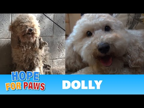 Dolly The  Poodle Will Melt Your Heart!
