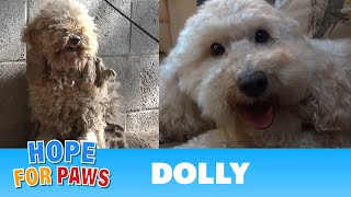 Hope For Paws: A severely matted poodle gets rescued and then makes a transformation of a lifetime!