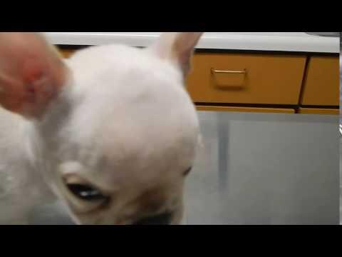 Hydrocephalus Dr. Kreamer @Vet4Bulldog.com