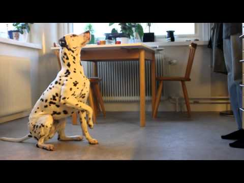 dalmatian magic tricks!