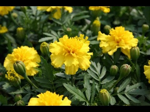 Annual Plants - If you're wondering how to grow flowers, you'll enjoy this. It's about how to dry, harvest, and plant annual flower seeds for your flower garden. For this ex...