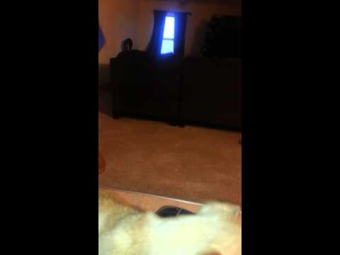 Chihuahua barking aggressively