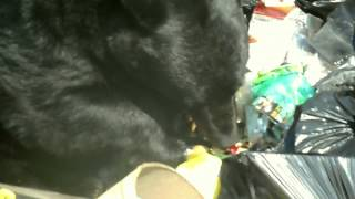 Video Fat Bear Eating Garbage: A Short Documentary MP3, 3GP, MP4, WEBM, AVI, FLV Mei 2017