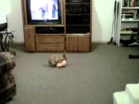 hilarious famous chihuahua caught making love bunnies! VERY FUNNY!!