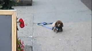 TOY POODLE Long Island Dog Training