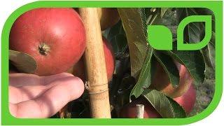 Maloni Billy - der Miniapfelbaum mit dem ausgeglichenen Geschmack