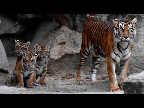 Berlin: Tierpark Berlin - Tigernachwuchs entdeckt Außengehege