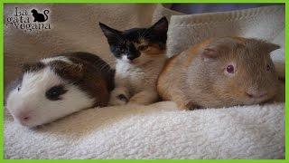 Hola bichejos, en el vídeo de hoy os explico, desde mi experiencia, cómo poder juntar gatos con pequeños animales. Por supuesto debéis extremar los riesgos en todo momento, pero en algunos casos lograreis la convivencia entre ellos.Si quieres ver más vídeos de gatos: https://goo.gl/CO09c3DIY para gatos: https://goo.gl/szMraFSuscríbete: https://goo.gl/thLKcBEs posible que tus dudas ya las haya respondido antes en algún vídeo. Te recomiendo que compruebes si es así para que obtengas respuesta lo antes posible. Mis redes sociales:Twiter------ https://twitter.com/lagataveganaFacebook----- https://www.facebook.com/lagataveganayt Instagram -------- https://www.instagram.com/lagataveganaytEmail -------- lagatavegana@gmail.com (no contesto dudas)Google +  ------- https://plus.google.com/+LaGataVegana Si quieres ayudarme en los gastos veterinarios de los animales que recojo de la calle : PayPal : lagatavegana@gmail.com Patreon: https://goo.gl/scpR7X¡Gracias!  ;)Música de la librería de YouTube:Electrodoodle de Kevin MacLeod está sujeta a una licencia de Creative Commons Attribution (https://creativecommons.org/licenses/by/4.0/)Fuente: http://incompetech.com/music/royalty-free/index.html?isrc=USUAN1200079Artista: http://incompetech.com/