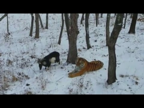 Tiger Befriends Goat Who Was Intended to be His