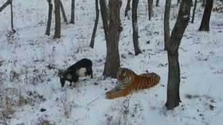 Brave goat becomes friends with a tiger!