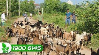 Chăn nuôi dê   Cách diệt giun sán cho dê vừa rẻ, vừa an toàn