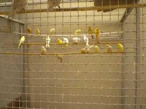 Nouvelles des jeunes canaris en coloration et sevrés