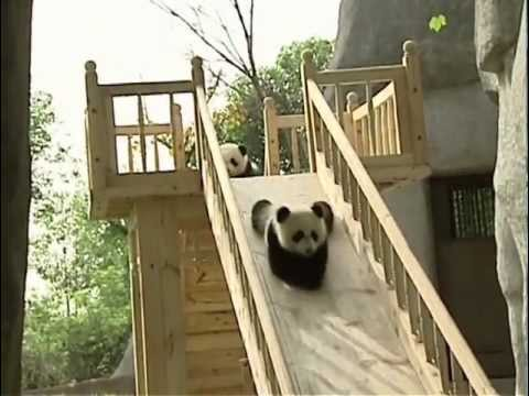Panda cubs enjoys sliding down a ramp