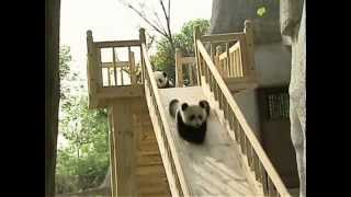 Cute pandas playing on the slide - YouTube