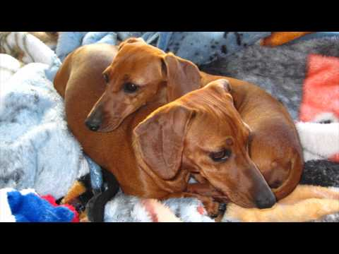 This Is a Happy Story! Dachshund Puppy Dogs Rescued & Spoiled, Playing With Toys & Laser Pointer!
