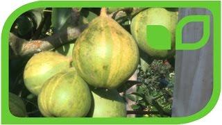 Ornamental Pear: Design Patterns Like the Swiss Guard