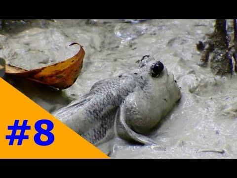 :)  miền tây dân dã: lội bùn đi bắt thòi lòi biển sau một ngày đặt bẫy  :)