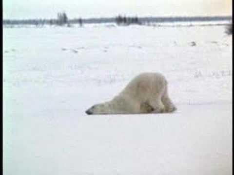 Polar Bear Going To Work On Monday