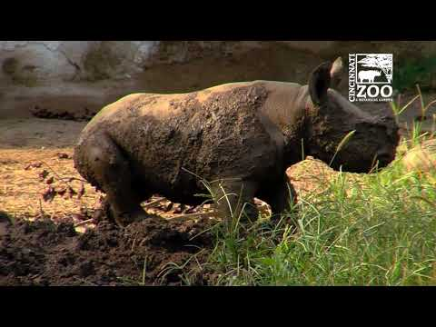 Baby Black Rhino Plays in Mud for the First Time