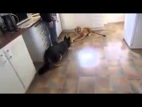 german shepherd scared of stuffed toy tiger. very funny!