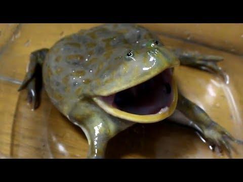 Suloinen sammakko