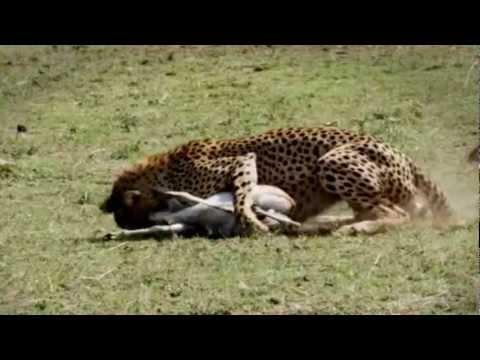 Video de animales salvaje imagui - Animales salvajes apareandose ...