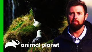 Searching For A Great Auk On The Remote Faroe Islands | Extinct Or Alive? by Animal Planet