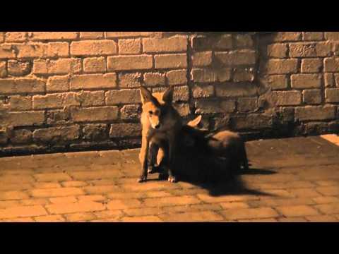 Una volpe allatta i suoi cuccioli in un parcheggio