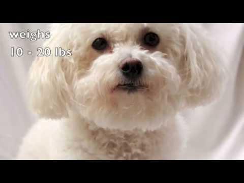 Dogs 101: Bichon Frise (видео)