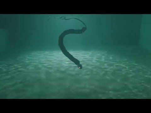 Watch a Robotic Sea Snake swim like the real