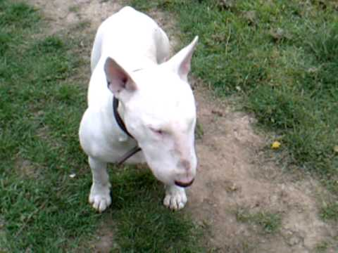 english bullterrier