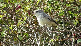 Video Masked Shrike @ Spurn MP3, 3GP, MP4, WEBM, AVI, FLV Agustus 2018