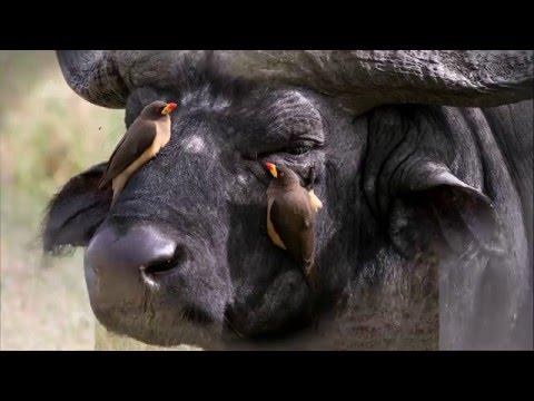 African buffalo photos