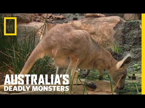 Krokotiili nappaa kengurun päivällisekseen – Raju video