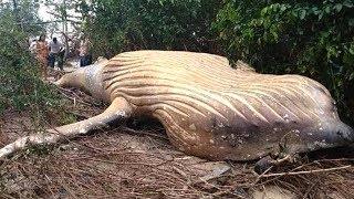 Bí ẩn về xa''c Cá voi kh,ổ,ng lô` đột nhiên xuất hiện trong rừng Amazon - TIN TỨC 24H TV