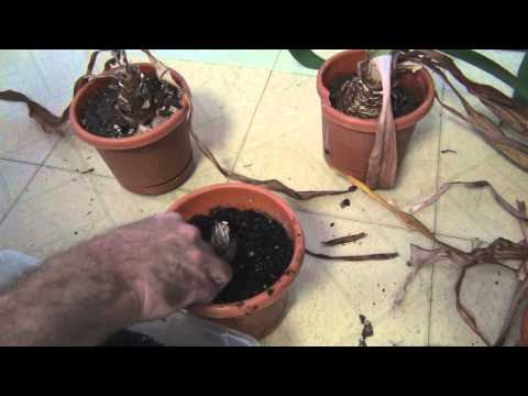 how to fertilize amaryllis bulbs