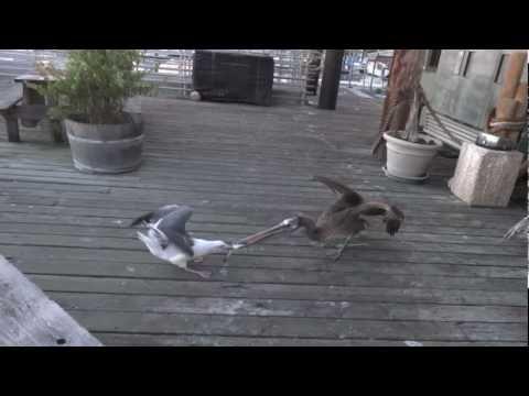 3 Pelikane gegen 1 Möwe