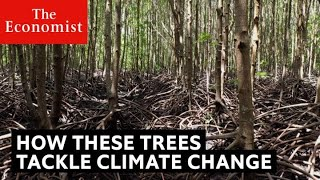 Mangroves: how they help the ocean