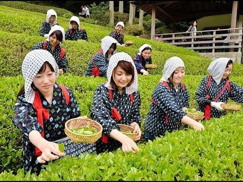 神戸の茶園で茶摘始まる