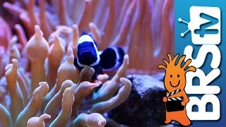6 Month Update & Office Tanks | EP 5: Clownfish Harem Tank #clownharemtank