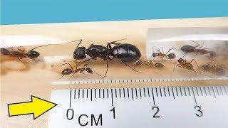 Video Я завел Огромных Агрессивных и Кусачих Африканских муравьев! alex boyko MP3, 3GP, MP4, WEBM, AVI, FLV Juli 2018