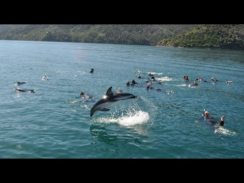 Picton E Ko Tours   Dolphin Swim 2017